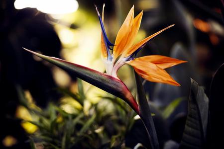 Uccello del paradiso Fiori, fiore tropicale close-up in un giardino botanico o la natura