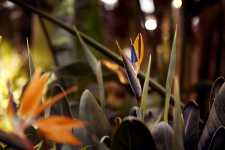 Bird of Paradise Flowers, tropical flower close-up in a botanical garden or nature
