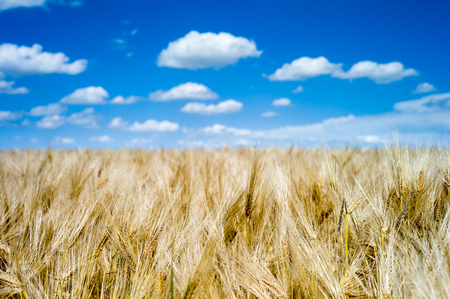 Golden mature and ripe wheat field ready for harvest under a summer blue sky with white clouds. Stock Photo