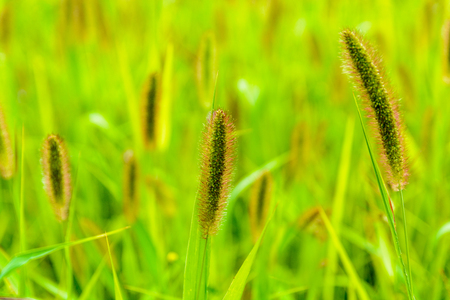 Closeup view of several inflorescences of Setaria pumila against a green blurry meadow background.