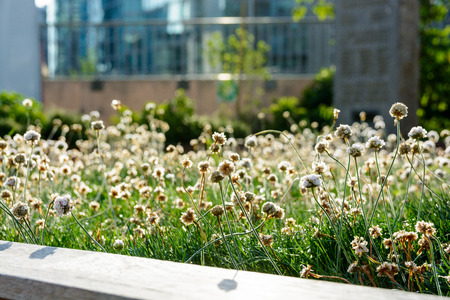 Backlighted little white flowers and grass at sunset in an urban backlighted little white flowers and grass at sunset in an urban public planter with blurry building mightylinksfo