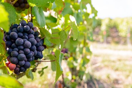 Close-up view of bunches of ripe grapes in the Champagne vineyard at sunset. Stock Photo