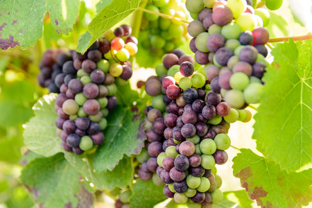 Close-up view of bunches of grapes at different stages of ripeness in the Champagne vineyard at sunset.
