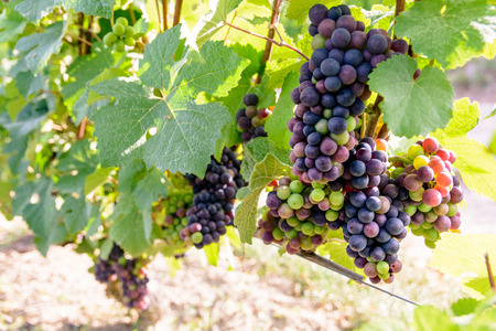 Bunches of grapes at different stages of ripeness in the Champagne vineyard at sunset.