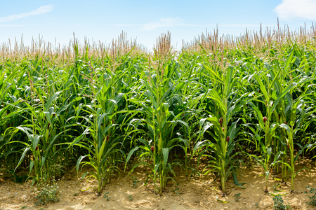 Front view of a soft green corn field, which has reached its maximum height, ripening under a pale blue sky.