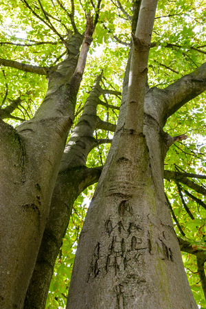 View from below of a horse chestnut tree with illegible letters and names carved in its trunk.