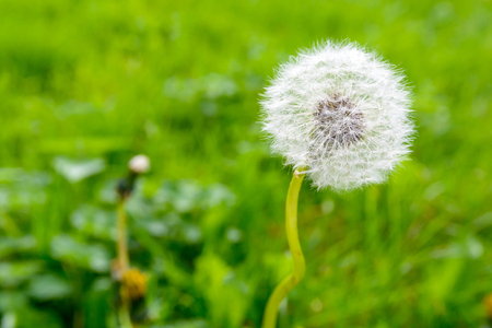 Closeup view of the seed head of a dandelion flower against blurred grass background.