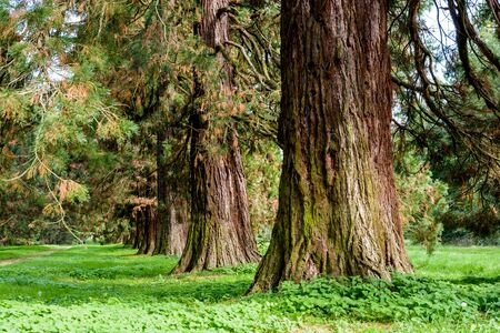 Alignment of giant sequoia trees. Stock Photo