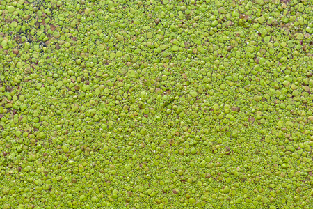 View from above of duckweed covering the surface of a pond.