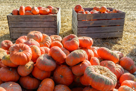 Dozens of freshly picked, unwashed pumpkins stacked outdoors on wooden pallets and in wooden boxes in the sunset light with straw on the ground.