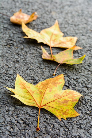 Close-up view with shallow depth of field of four dead mapple leaves lying on an asphalted road.