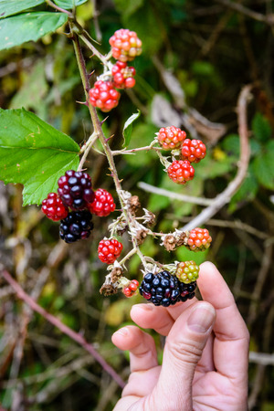 Close-up view of blackberries picked by a woman during a stroll in the countryside with blurry background.