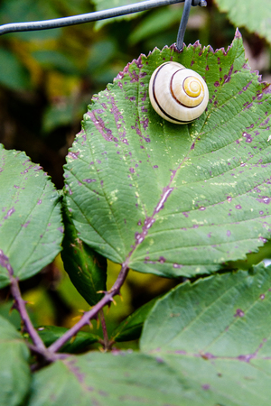 A garden banded snail with a pearly white coiled shell waiting for the rain on a bramble leaf.