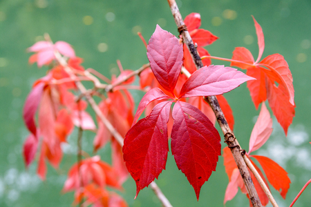 Close-up view of the bright red leaf of a Virginia creeper plant at fall, with its five leaflets, against a green background.