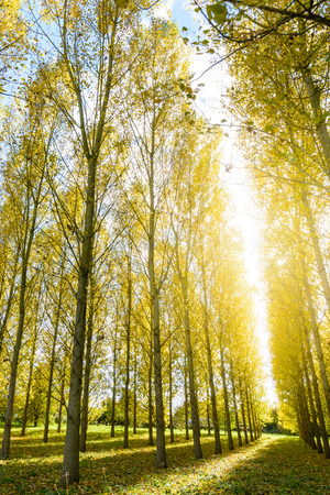 forestation: A dazzling autumnal sunshine enlightening the bright yellow foliage of a poplar grove in a residential area.