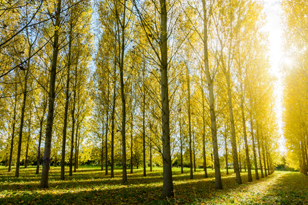 A dazzling autumnal sunshine enlightening the bright yellow foliage of a poplar grove in a residential area.