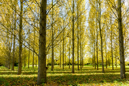 A poplar grove in a residential area enlightened by an automnal sunlight making the yellow leaves shine bright.