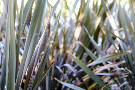 Slender leaves of a wild semi-aquatic plant with blurry background.