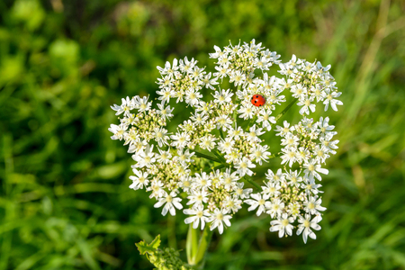 A red ladybug with black spots on a white meadowsweet flower against a blurry grassy background. Stock Photo