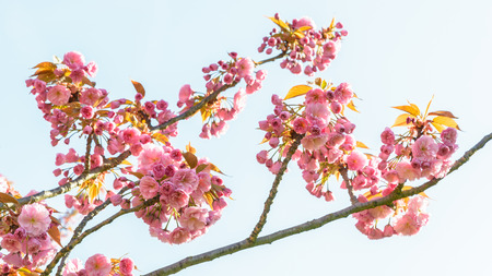 Branches of a blossoming japanese cherry tree with clusters of branches of a blossoming japanese cherry tree with clusters of pink flowers against blue sky mightylinksfo
