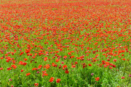 A field of poppies in full bloom under a bright sunshine.