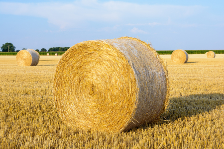 Round bales of straw scattered at sunset in a field of wheat recently harvested in the french countryside.