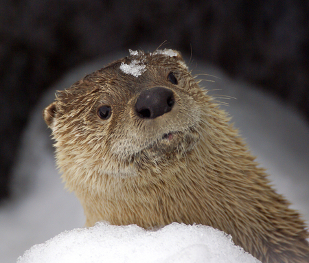 Otter peaking over a snow bank Stock Photo