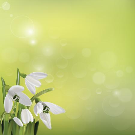 snowdrop: Spring snowdrop flowers on green background. Vector illustration