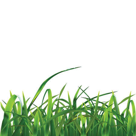 sedge: Grass. Vector ilustration