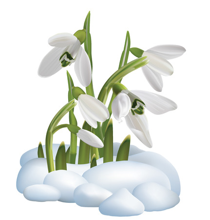 Spring snowdrop flowers on a snow  Vector illustration Illustration