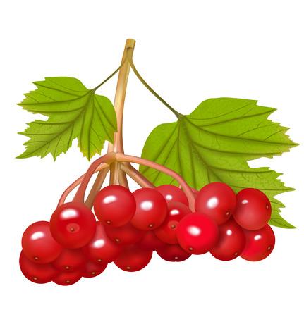 Red Viburnum berries. Vector illustration
