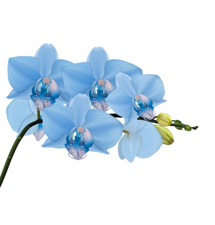 flores moradas: ramificaci�n de la orqu�dea azul con brotes. ilustrador vectorial