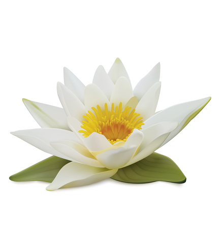 Water lily on white background. Vector illustration