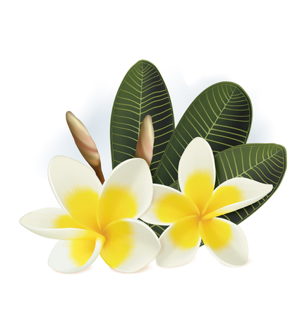 Plumeria flowers isolated on white background. Vector illustration