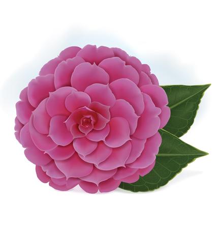 Nica rosa cor-de-rosa de florescência do camelia do japonês isolada em um fundo branco. Ilustração vetorial Foto de archivo - 94777083
