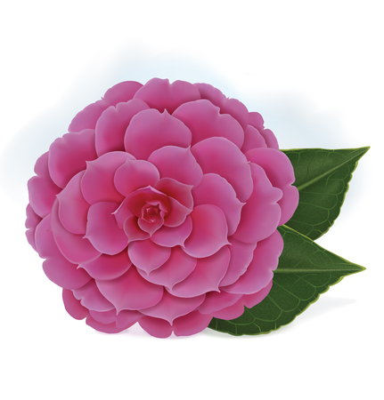 Single blooming pink camelia japanese rose isolated on a white background. Vector illustration