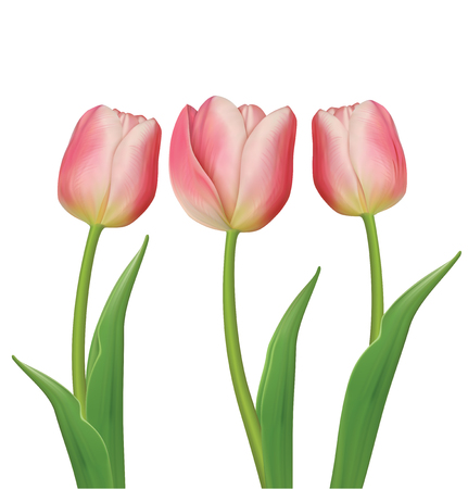 Tulips flowers on white background. Vector illustration Ilustrace