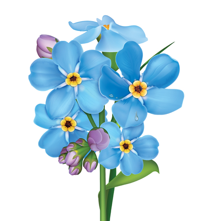 Bunch of blue forget me not flowers with leaves and water drops isolated on white background. Vector illustration