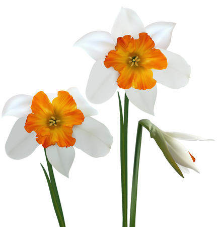 White daffodils (Narcissus poeticus). 3D vector illustration