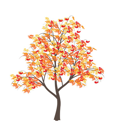 Mountain ash with yellow leaves and red berries