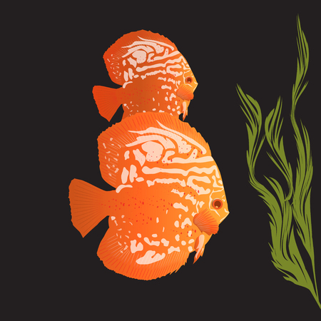 freshwater aquarium plants: Aquarius fish orange discus on a black background
