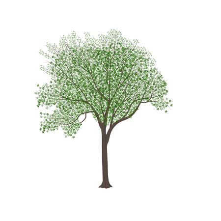 Il frassino con foglie verdi in estate