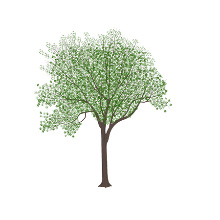 The ash-tree with green leaves in the summer