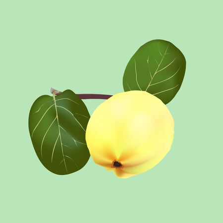 A quince fruit with green leaves on a branch Illustration