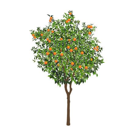El naranjo aislado con frutas maduras en un color blanco Ilustración de vector