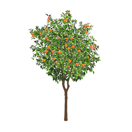 The isolated orange tree with mature fruits on a white color