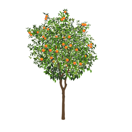 The isolated orange tree with fruits and flowers on a white background