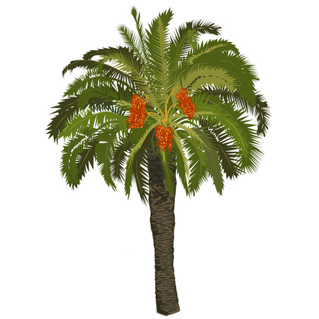 High date palm tree with fruits on a white background
