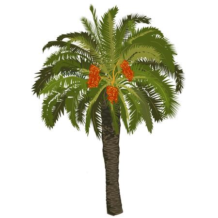Palmier à haute date avec des fruits sur fond blanc