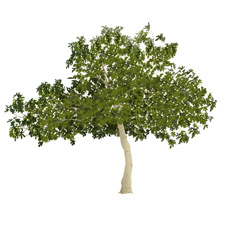 Fig tree (Ficus carica) in the summer before formation of fruits on a white background Illustration